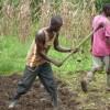 Het bewerken van het rijstveld